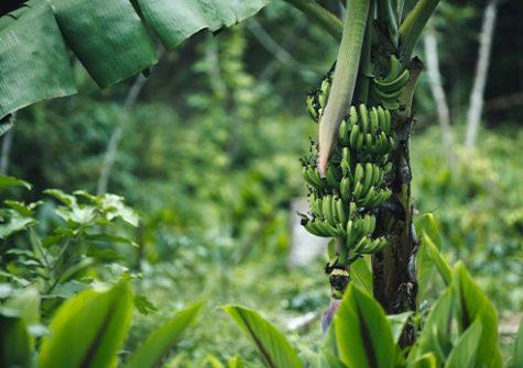 Les bananeraies des Antilles françaises ont été massivement traitées par la chlordécone