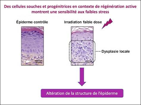 ©LRGK Cellules souches épidermiques faible irradiation